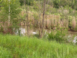 Vorne Gras und in der Mitte Bäume, Sträucher und Schwan im Marchfeldkanal
